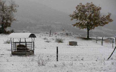Retour des vaches sous la neige