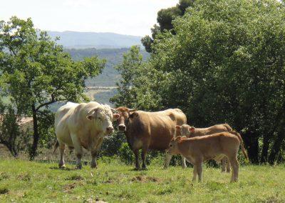 vache et charolais chaleur